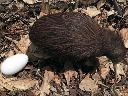 Kiwi com ovo