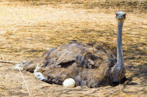 Você sabe quais são os maiores ovos de aves?