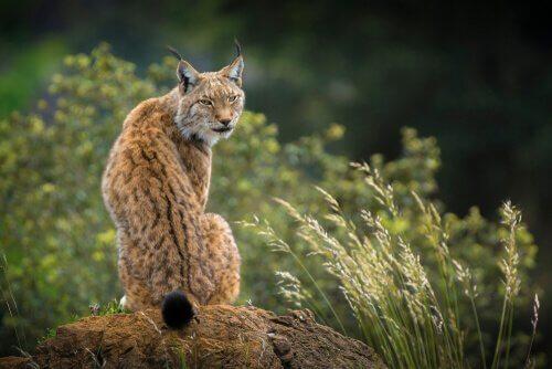 O lince da Península Ibérica: o felino mais ameaçado do mundo