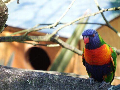 periquito-arco-íris