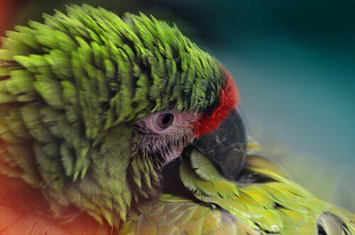 picacismo em papagaios