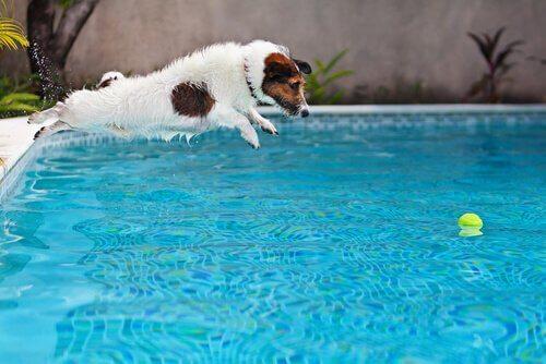 Cachorro pulando na piscina para pegar bolinha