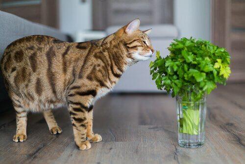 Plantas tóxicas para gatos: gatinho cheirando ramo de coentro