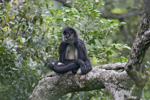 macaco sagrado