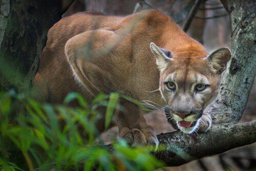 Puma: o predador americano