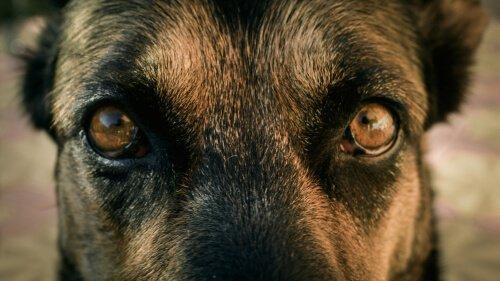 Pupilas dos cães