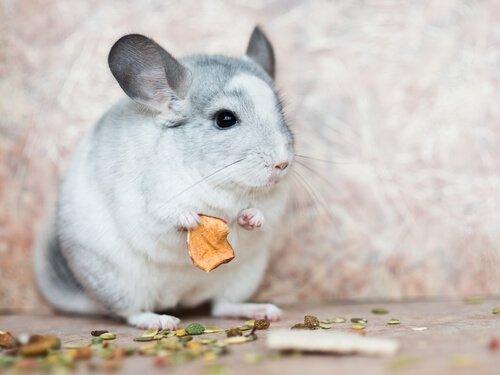 chinchila comendo