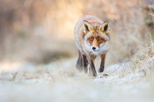 raposa vermelha na neve