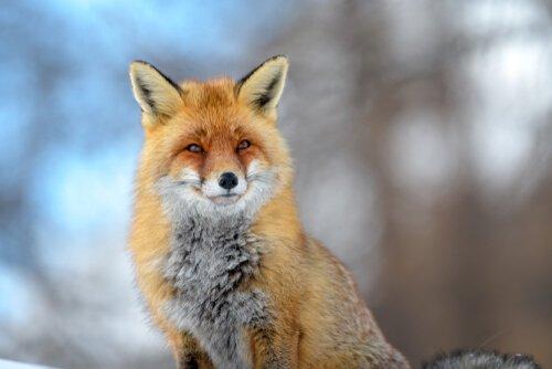 A linda raposa vermelha