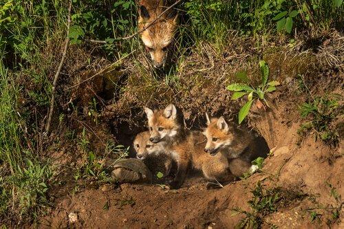 filhotes de raposa vermelha