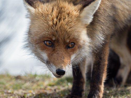 A espécie de raposa que vive na Espanha