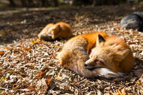 raposas dormindo