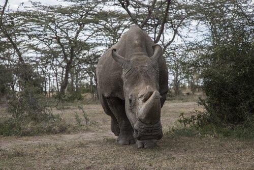 rinoceronte branco Sudão