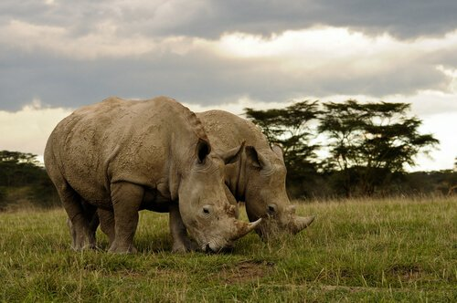 Rinocerontes brancos