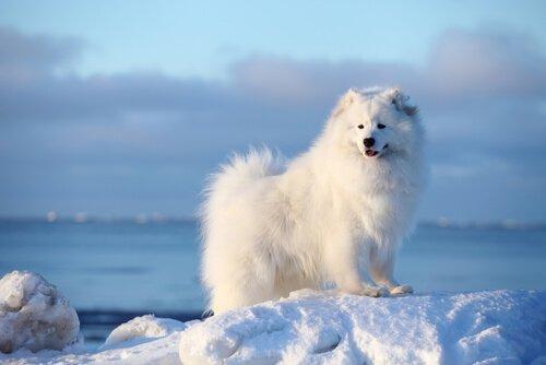 Samoiedo: o cão sempre sorridente
