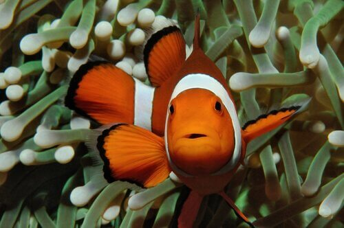 simbiose no reino animal: peixe-palhaço vivendo numa anêmona