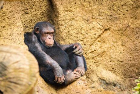 Chimpanzé descansando
