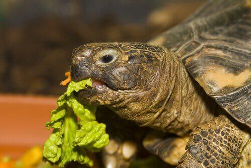 tartaruga russa comendo alface