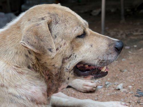Cachorro com dermatite