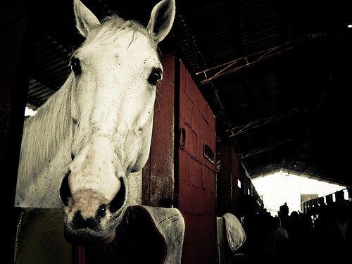 Cavalo branco em uma baia