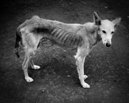 Cachorra desnutrida