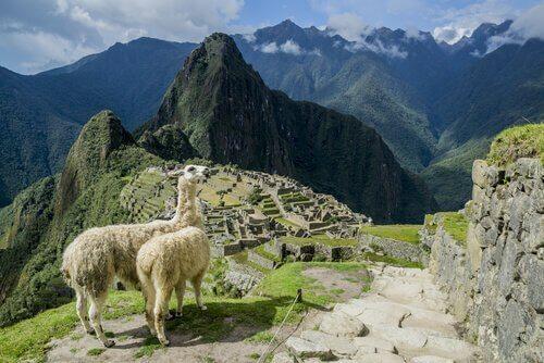 vicunhas em Machu Picchu