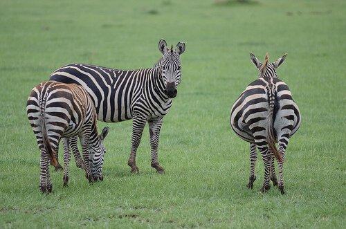 O que você deve saber sobre a zebra?