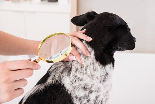 Problemas de pele em cães: dona examinando cachorro com lupa