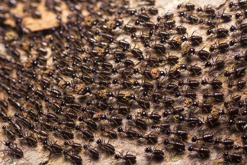 Você conhece as formigas-correição?