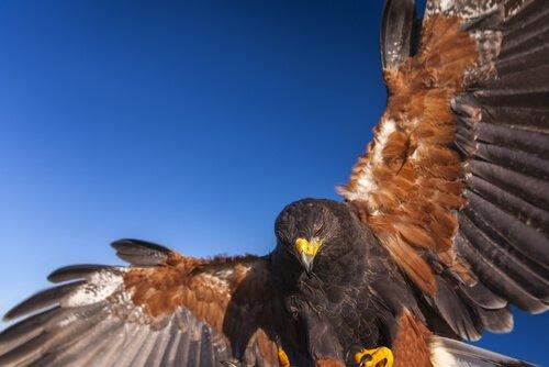 Águia de Harris: os lobos do ar