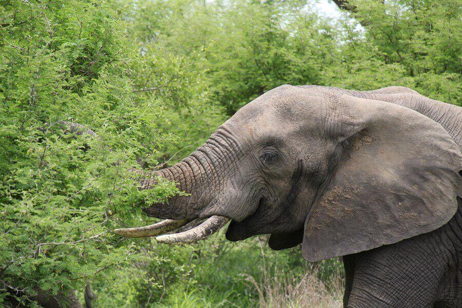 alimentação dos elefantes