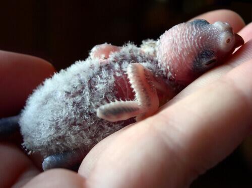 Alimentação de filhotes de periquito