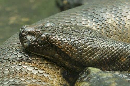 5 cobras constritoras