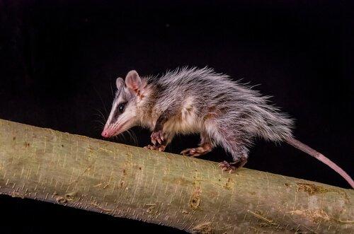 animais mais dorminhocos: o gambá