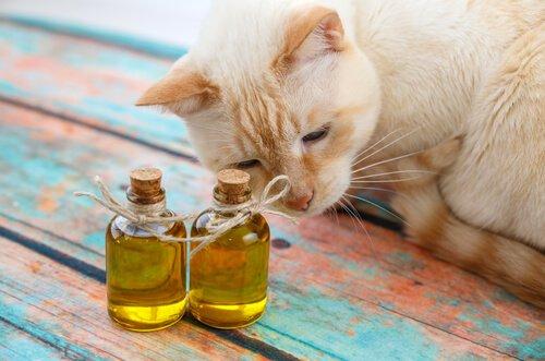 Azeite para os gatos, uma boa ideia?