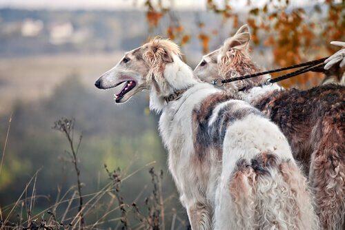 Cães da raça Borzoi