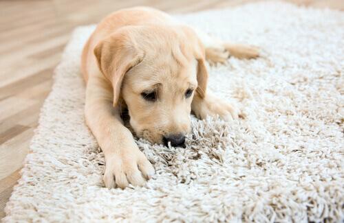 Cachorro farejando o tapete