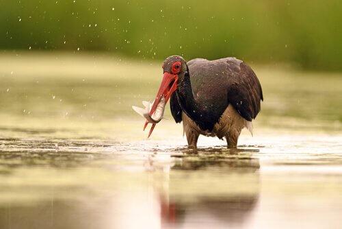 cegonha preta pescando