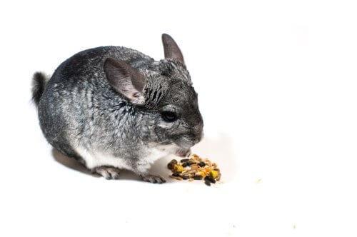 alimentação das chinchilas