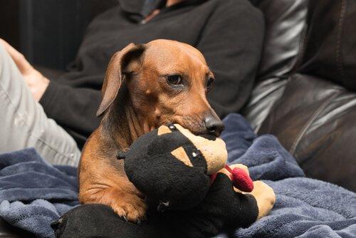 cão ciumento com brinquedo