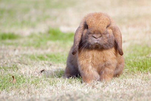 coelho anão holland lop