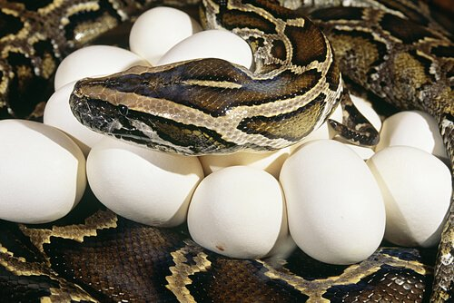 Algumas cobras são boas mães