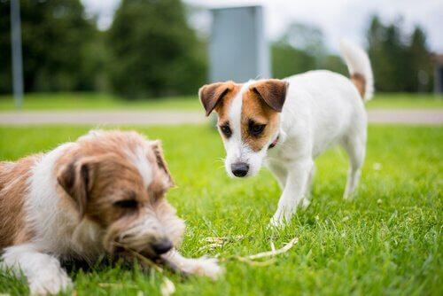 cães com ciúme