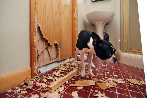 Cachorro com comportamento destrutivo
