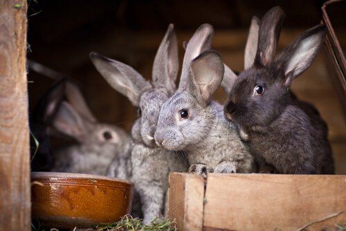 tipos de coelhos: o coelho rex