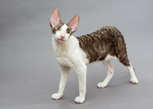 raça de gato Cornish rex