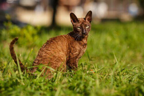 Cornish rex, um gato de pelos ondulados