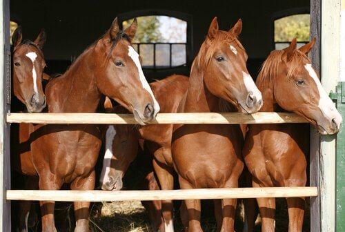 cavalos em estábulo