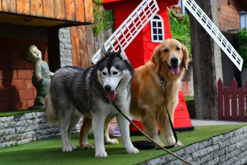 husky siberiano e golden retriever