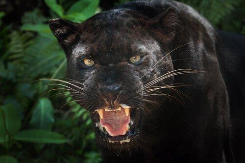Curiosidades sobre a Pantera Negra